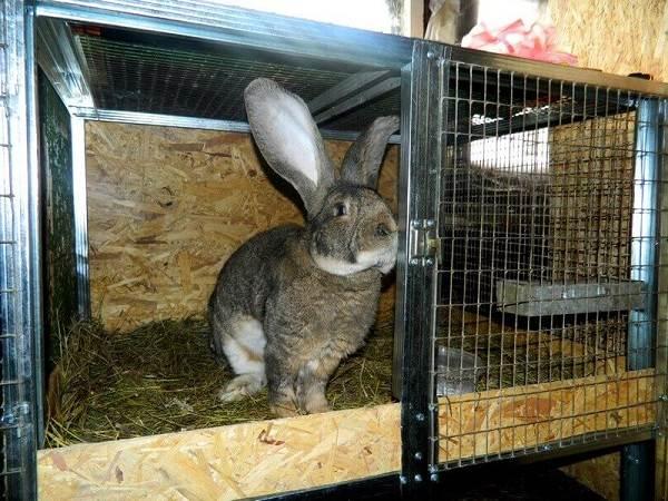 Кролики-породы-великан-Описание-особенности-виды-уход-и-содержание-9