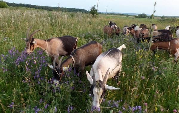 Альпийские-козы-Описание-особенности-виды-уход-и-содержание-породы-10