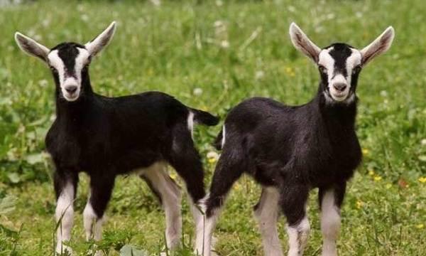 Альпийские-козы-Описание-особенности-виды-уход-и-содержание-породы-13