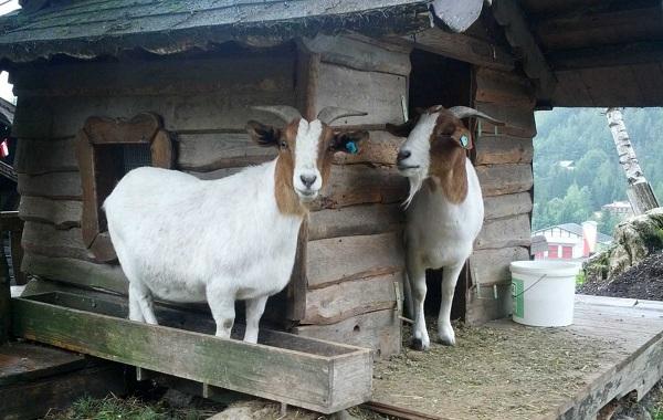 Альпийские-козы-Описание-особенности-виды-уход-и-содержание-породы-15