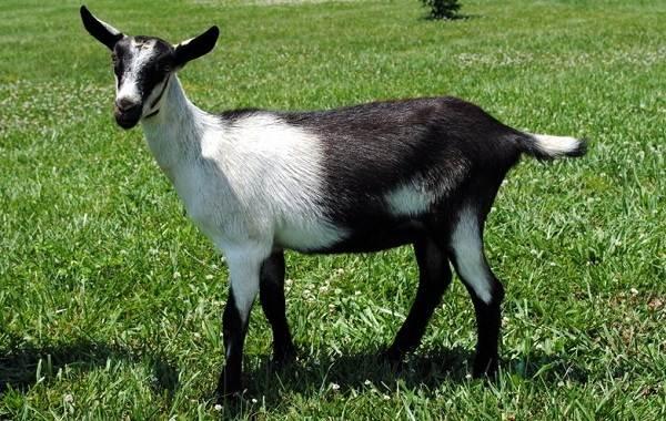 Альпийские-козы-Описание-особенности-виды-уход-и-содержание-породы-2