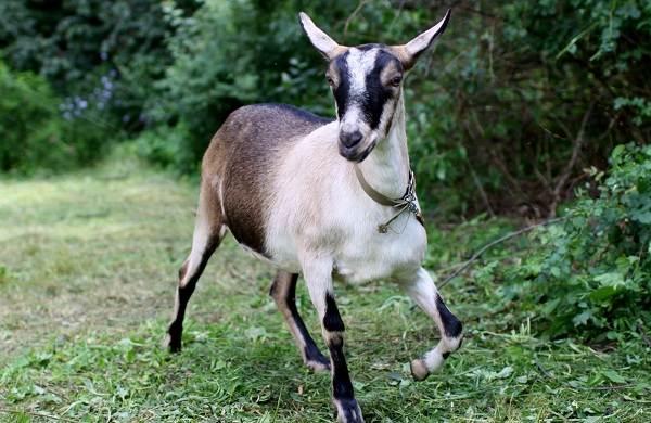 Альпийские-козы-Описание-особенности-виды-уход-и-содержание-породы-3