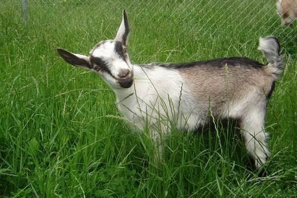 Альпийские-козы-Описание-особенности-виды-уход-и-содержание-породы-4