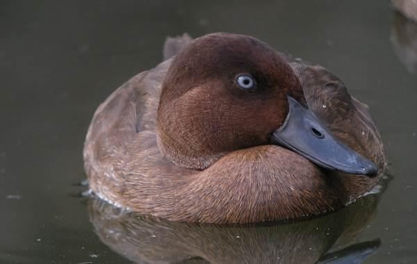 Хохлатая-чернеть-утка-Описание-особенности-образ-жизни-и-среда-обитания-птицы-14