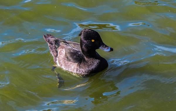Хохлатая-чернеть-утка-Описание-особенности-образ-жизни-и-среда-обитания-птицы-17
