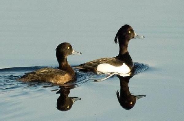 Хохлатая-чернеть-утка-Описание-особенности-образ-жизни-и-среда-обитания-птицы-3