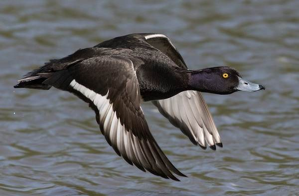 Хохлатая-чернеть-утка-Описание-особенности-образ-жизни-и-среда-обитания-птицы-6
