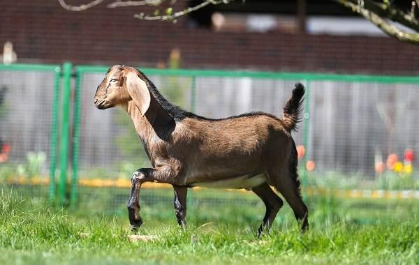 Нубийские-козы-Описание-особенности-виды-плюсы-и-минусы-породы-1