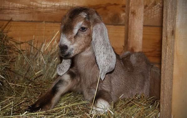 Нубийские-козы-Описание-особенности-виды-плюсы-и-минусы-породы-11