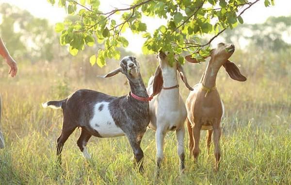 Нубийские-козы-Описание-особенности-виды-плюсы-и-минусы-породы-12