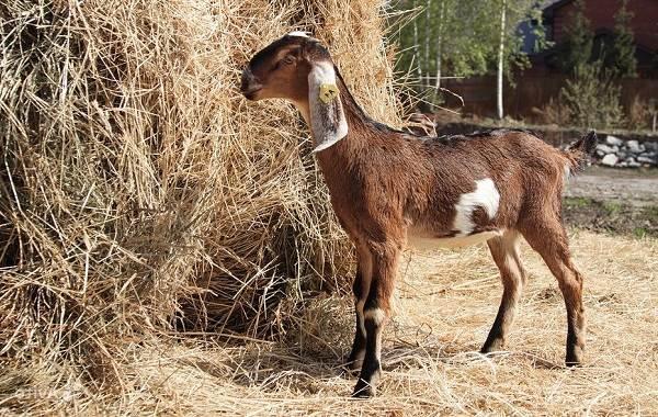 Нубийские-козы-Описание-особенности-виды-плюсы-и-минусы-породы-9