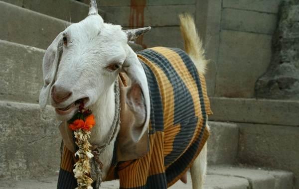 Священные-животные-Какие-виды-в-какой-стране-считаются-священными-24