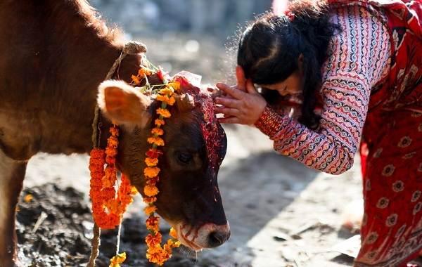 Священные-животные-Какие-виды-в-какой-стране-считаются-священными-9