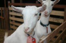 Зааненская коза. Описание, особенности, плюсы, минусы уход и содержание в хозяйстве