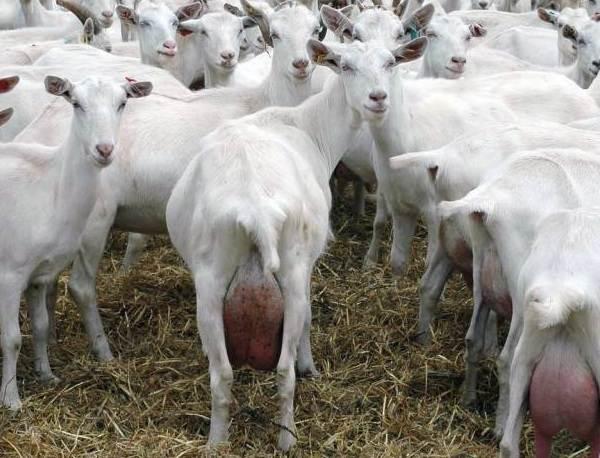 Зааненская-коза-Описание-особенности-плюсы-минусы-уход-и-содержание-в-хозяйстве-3
