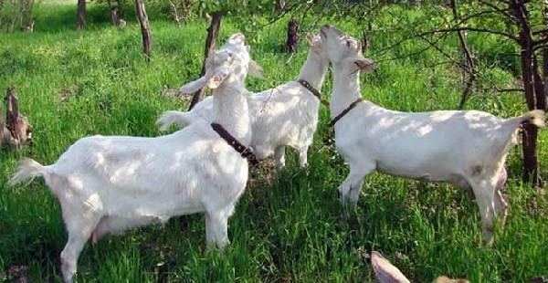 Зааненская-коза-Описание-особенности-плюсы-минусы-уход-и-содержание-в-хозяйстве-4