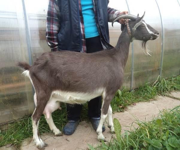 Зааненская-коза-Описание-особенности-плюсы-минусы-уход-и-содержание-в-хозяйстве-5