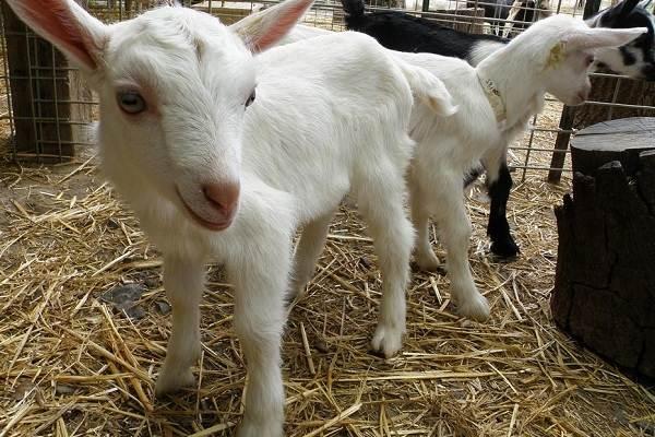 Зааненская-коза-Описание-особенности-плюсы-минусы-уход-и-содержание-в-хозяйстве-6