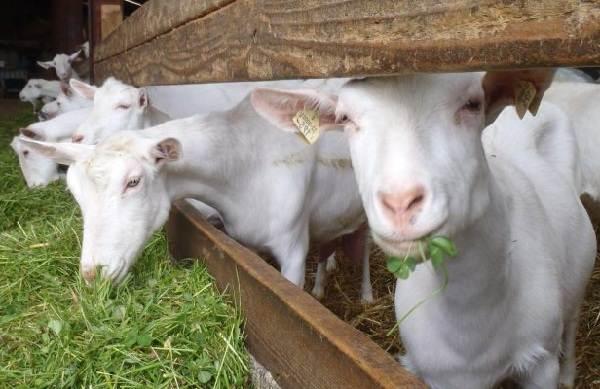 Зааненская-коза-Описание-особенности-плюсы-минусы-уход-и-содержание-в-хозяйстве-8