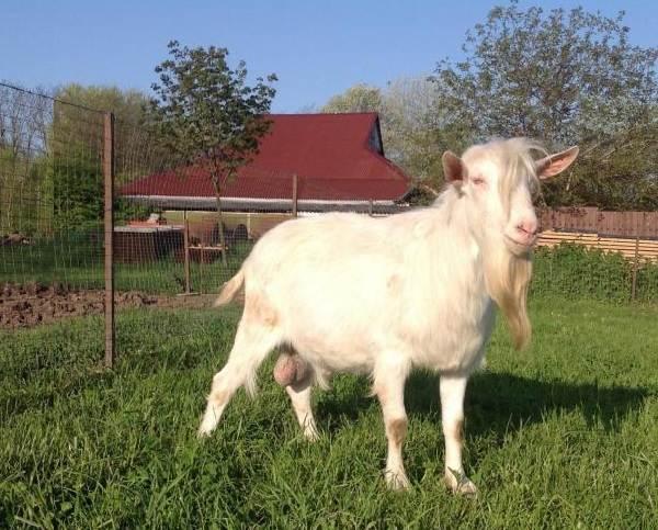 Зааненская-коза-Описание-особенности-плюсы-минусы-уход-и-содержание-в-хозяйстве-9