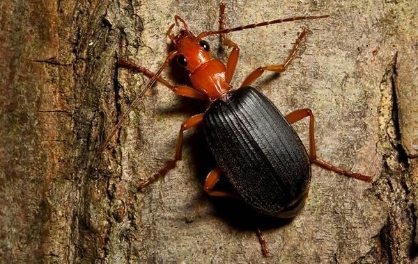 Жук-бомбардир-Описание-особенности-виды-образ-жизни-и-среда-обитания-насекомого-1