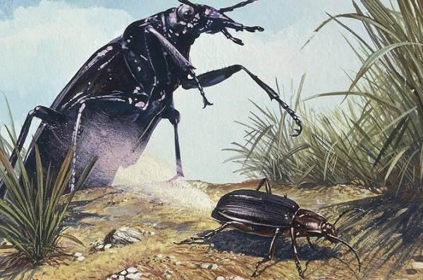 Жук-бомбардир-Описание-особенности-виды-образ-жизни-и-среда-обитания-насекомого-10