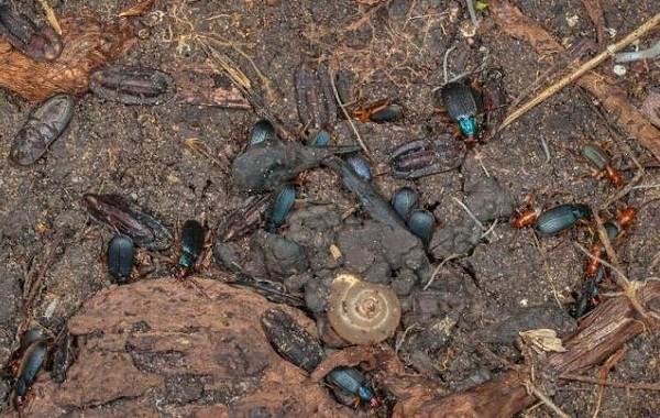 Жук-бомбардир-Описание-особенности-виды-образ-жизни-и-среда-обитания-насекомого-11