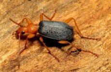 Жук бомбардир. Описание, особенности, виды, образ жизни и среда обитания насекомого