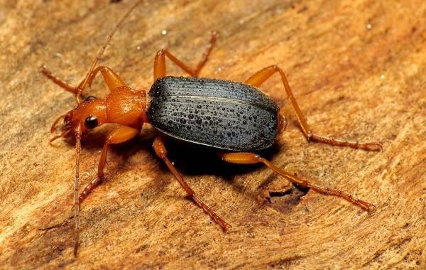 Жук-бомбардир-Описание-особенности-виды-образ-жизни-и-среда-обитания-насекомого-2