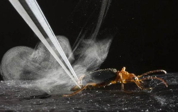 Жук-бомбардир-Описание-особенности-виды-образ-жизни-и-среда-обитания-насекомого-3