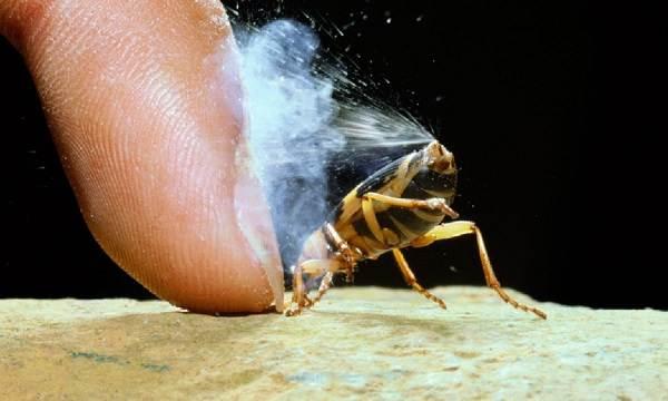 Жук-бомбардир-Описание-особенности-виды-образ-жизни-и-среда-обитания-насекомого-4