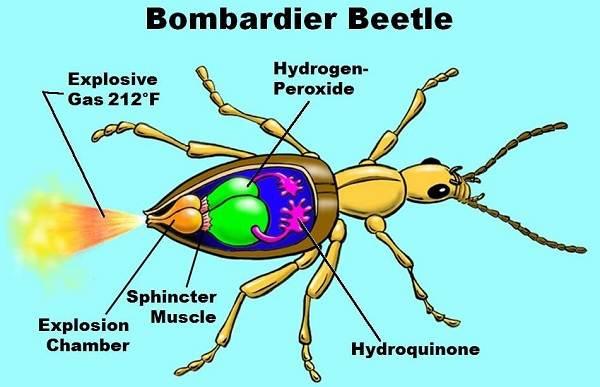 Жук-бомбардир-Описание-особенности-виды-образ-жизни-и-среда-обитания-насекомого-7