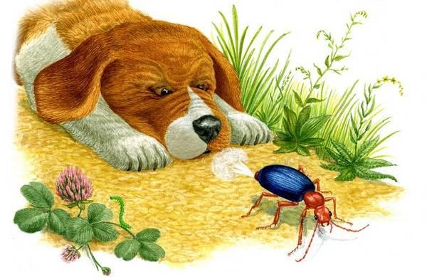 Жук-бомбардир-Описание-особенности-виды-образ-жизни-и-среда-обитания-насекомого-8