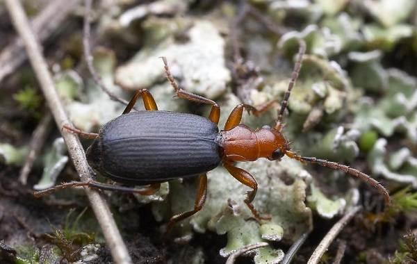 Жук-бомбардир-Описание-особенности-виды-образ-жизни-и-среда-обитания-насекомого-9