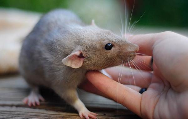 Крыса-символ-2020-года-Свиньи-символ-2019-года-Две-истории-о-животных-2