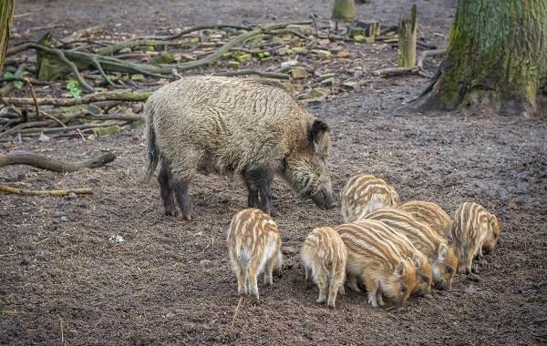 Крыса-символ-2020-года-Свиньи-символ-2019-года-Две-истории-о-животных-4