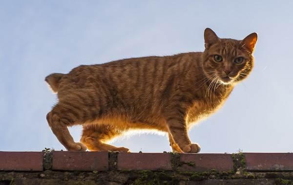 Мэнкс-кошка-Описание-особенности-характер-уход-и-цена-породы-10