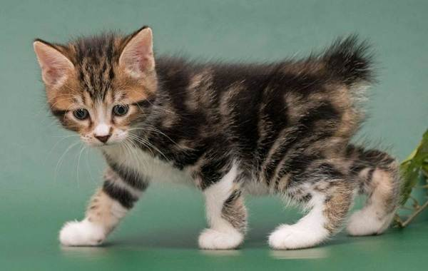 Мэнкс-кошка-Описание-особенности-характер-уход-и-цена-породы-11