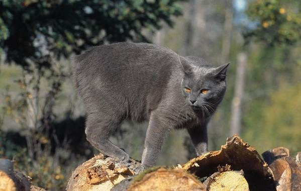 Мэнкс-кошка-Описание-особенности-характер-уход-и-цена-породы-12