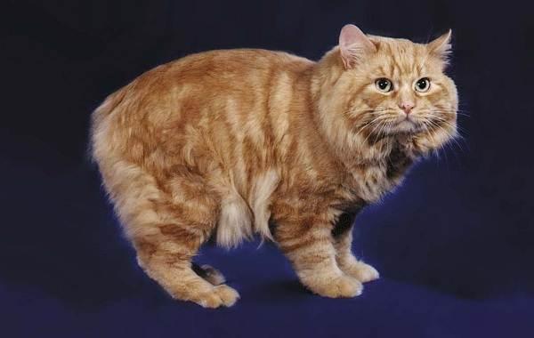 Мэнкс-кошка-Описание-особенности-характер-уход-и-цена-породы-3