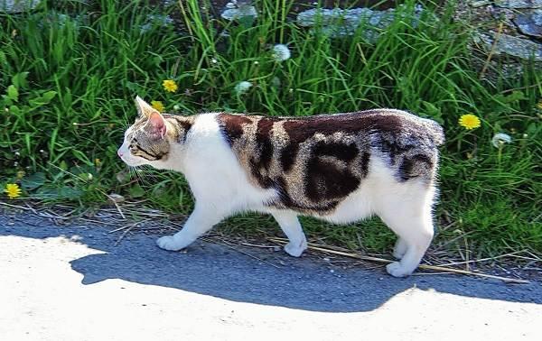 Мэнкс-кошка-Описание-особенности-характер-уход-и-цена-породы-4