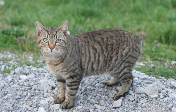 Мэнкс-кошка-Описание-особенности-характер-уход-и-цена-породы-5