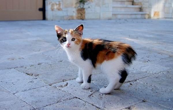 Мэнкс-кошка-Описание-особенности-характер-уход-и-цена-породы-6