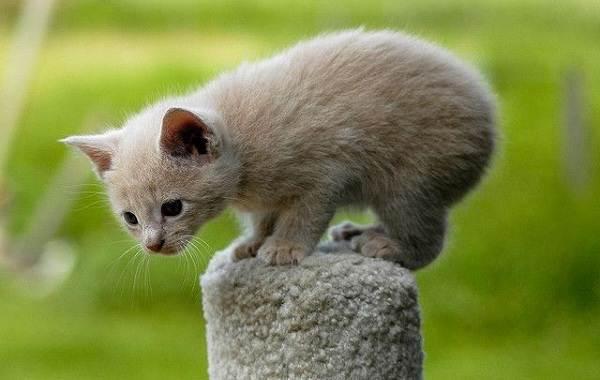 Мэнкс-кошка-Описание-особенности-характер-уход-и-цена-породы-7