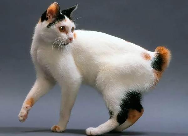 Мэнкс-кошка-Описание-особенности-характер-уход-и-цена-породы-8