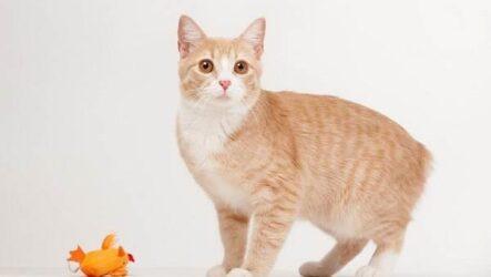 Мэнкс кошка. Описание, особенности, характер, уход и цена породы