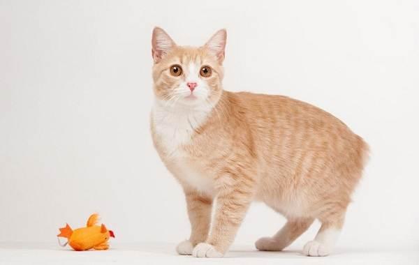 Мэнкс-кошка-Описание-особенности-характер-уход-и-цена-породы-9