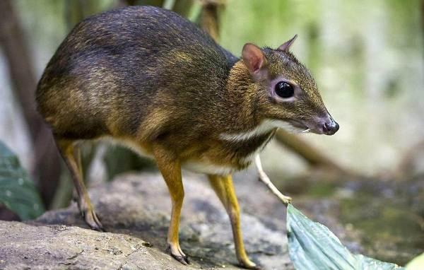 Мышь-олень-животное-Описание-особенности-образ-жизни-и-среда-обитания-1