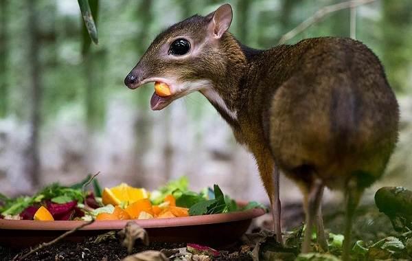 Мышь-олень-животное-Описание-особенности-образ-жизни-и-среда-обитания-2