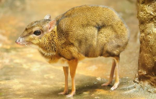Мышь-олень-животное-Описание-особенности-образ-жизни-и-среда-обитания-3